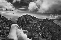Black-browed albatrosses, Willis Islands 2009.jpg 16