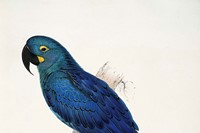 Painting by Edward Lear of a Lear's Macaw which he 3