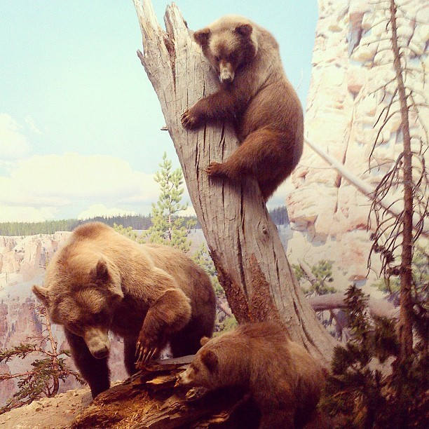 Bear display at New York Museum of Natural Histor