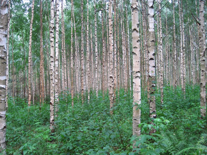 Birch_trees_in_Finland