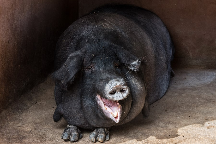 Feral hogs in Italy destroy cocaine